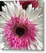 Pink N White Gerber Daisy Metal Print