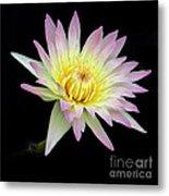Pink N Yellow Water Lily Too Metal Print
