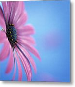 Pink Osteospermum Flower On Blue Metal Print