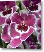 Pink Pansy Orchid Metal Print
