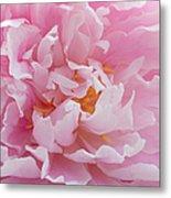 Pink Peony Flower Waving Petals  Metal Print