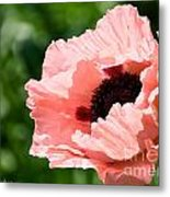 Pink Poppy Today Metal Print
