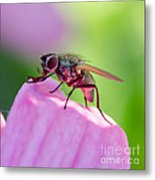 Pink Reflection On Flies Body. Metal Print