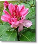 Pink Rhododendron Bud Metal Print
