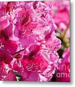 Rhododendron Called Azalea Bright Pink Flowers  Metal Print