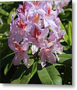 Pink Rhododendron In Sunshine Metal Print