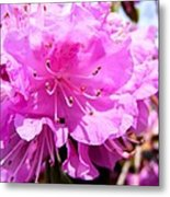 Pink Rhododendrons Metal Print