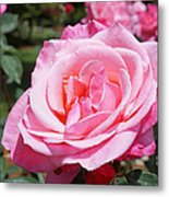 Pink Rose Flower Floral Art Prints Roses Metal Print
