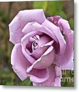 Pink Rose In Israel Metal Print