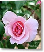 Pink Rose - Square Print Metal Print