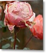 Pink Roses In The First Snow Metal Print