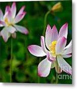 Pink Sacred Lotus Metal Print