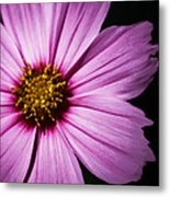 Pink Tickseed  Metal Print
