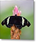 Pink Tip Butterfly Metal Print