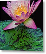 Pink Tipped Beauty Metal Print