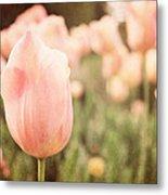 Pink Tulip Field Metal Print