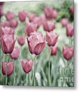 Pink Tulip Field Metal Print by Frank Tschakert