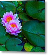 Pink Water Lilies - Lotus Metal Print