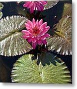 Pink Water Lily IIi Metal Print