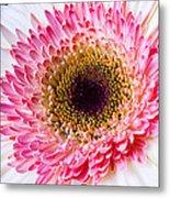 Pink White Daisy Metal Print