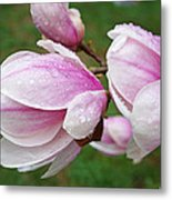 Pink White Wet Raindrops Magnolia Flowers Metal Print