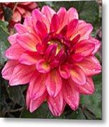 Pink Zinnia Flower Metal Print