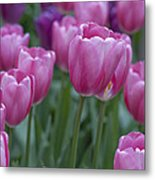 Pinks And Purples Metal Print