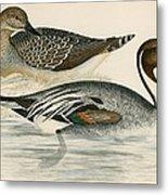 Pintail Duck Metal Print