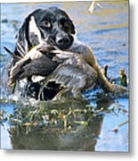 Pintail Retrieve Metal Print