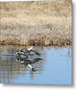 Pintail Takeoff From Water Metal Print