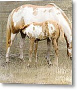 Pinto Mare And Filly Metal Print