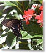 Pipevine Swallowtail IIi Metal Print