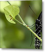 Pipevine Swallowtail Mother With Eggs Metal Print