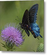 Pipevine Swallowtail Visiting Field Thistle Din158 Metal Print