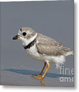 Piping Plover Charadrius Melodus Metal Print