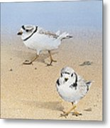 Piping Plovers Metal Print