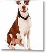 Pit Bull Dog With Happy Expression Metal Print