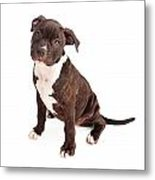 Pit Bull Puppy Black And White Metal Print