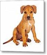 Pit Bull Puppy Fawn Color Metal Print by Susan Schmitz