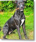 Pit Bull Terrier II Metal Print