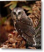 Pixie Saw Whet Owl Watching You Metal Print