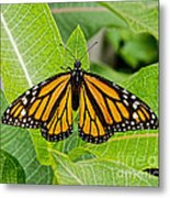 Plant Milkweed And Save The Monarch Butterfly Metal Print