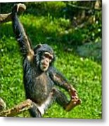 Playful Chimp Metal Print