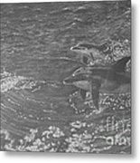 Playful Dolphins Metal Print