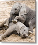 Playful Elephant Calves Metal Print