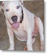Playful Pitbull Puppy Haaweo Metal Print