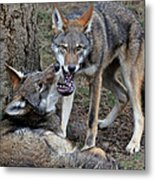 Playful Wolves Metal Print