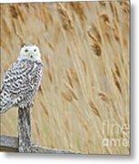 Plum Island Snowy Owl On A Fence Post Metal Print