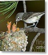 Plumbeous Vireo Feeding Chicks In Nest Metal Print