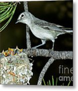 Plumbeous Vireo With Four Chicks In Nest Metal Print